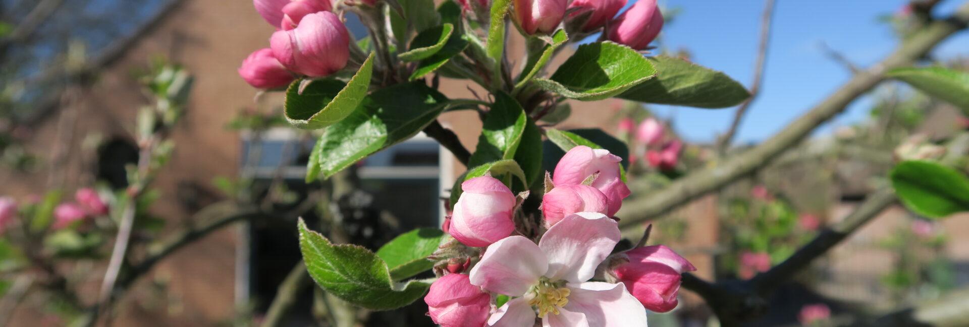uitzicht op de fruitbomen in bloesem hendrikshoeve loosdrecht